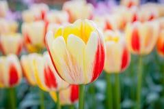 Tulipani verso la metà della molla immagine stock
