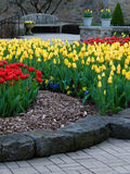 Tulipani vibranti in fioritura Fotografie Stock