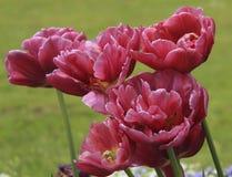 Tulipani vinosi Immagini Stock Libere da Diritti