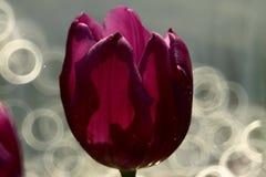 Tulipani viola Immagini Stock Libere da Diritti