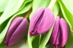 Tulipani viola Immagine Stock Libera da Diritti