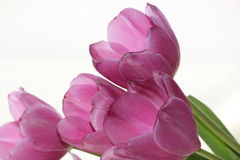 Tulipani viola Fotografie Stock Libere da Diritti