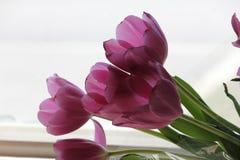 Tulipani viola Fotografia Stock