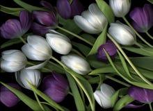 Tulipani viola e bianchi Immagine Stock