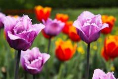 Tulipani viola e rossi in fioritura fotografia stock