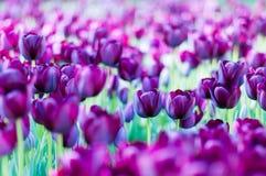 Tulipani viola in giardino sul fondo del bokeh All'aperto, molla Fotografia Stock