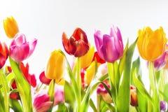 Tulipani vivi Colourful in un campo immagini stock libere da diritti