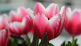 """Tulipano """"Charmeur """" Primo piano del tulipano rosa di Triumph Primavera nei Paesi Bassi fotografie stock libere da diritti"""