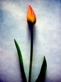 Tulipano illustrazione vettoriale