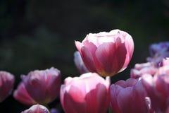 Tulipano 01 Immagini Stock Libere da Diritti