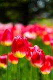 Tulipano Fotografia Stock Libera da Diritti