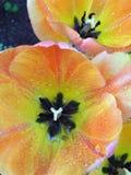Tulipano 4 Immagini Stock