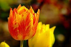 Tulipano 7 Fotografie Stock