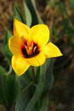Tulipano. Fotografie Stock