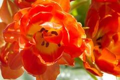 Tulipano Immagini Stock Libere da Diritti