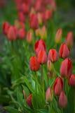 Tulipano Immagine Stock Libera da Diritti