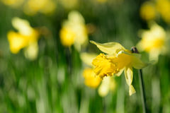 Tulipano al sole Immagini Stock Libere da Diritti