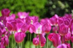 Tulipano amarantino Fotografia Stock Libera da Diritti