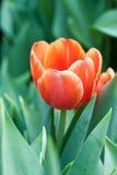 Tulipano arancio Immagini Stock