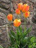 Tulipano arancio Fotografie Stock