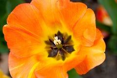 Tulipano arancio Immagini Stock Libere da Diritti