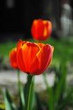 Tulipano arancio Fotografia Stock Libera da Diritti