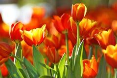 Tulipano arancio al sole Fotografia Stock Libera da Diritti