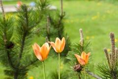 Tulipano arancio che cresce nel giardino su fondo verde Fotografie Stock Libere da Diritti