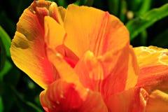 Tulipano arancio in fioritura fotografie stock libere da diritti