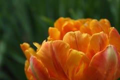 Tulipano arancio/fondo confuso fotografia stock