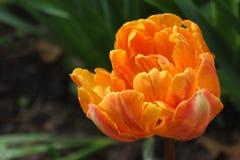 Tulipano arancio/fondo confuso Fotografie Stock Libere da Diritti