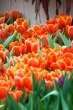 Tulipano arancio in giardino Fotografie Stock Libere da Diritti