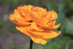 tulipano arancione Immagine Stock Libera da Diritti
