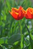 tulipano arancione Fotografia Stock Libera da Diritti