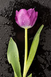 Tulipano bagnato sul nero Immagini Stock Libere da Diritti