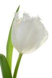 Tulipano bianco. Immagine Stock Libera da Diritti