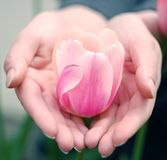 Tulipano bianco del pink& Party-colored in palme Fotografia Stock