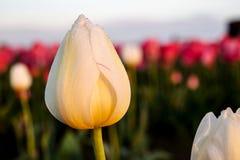 Tulipano bianco di mattina fotografia stock