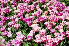 Tulipano bianco porpora rosa Immagini Stock