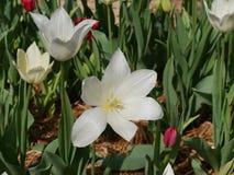 Tulipano bianco, primo piano Immagini Stock