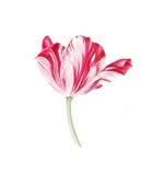 Tulipano bianco rosso dell'acquerello su fondo bianco Immagine Stock Libera da Diritti