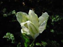 Tulipano bianco Sorgente Fotografie Stock
