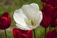 Tulipano bianco (vedi inoltre) Fotografia Stock