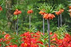 Tulipano che fiorisce in Olanda Immagini Stock
