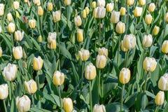 Tulipano che sboccia in Keukenhof in primavera immagine stock libera da diritti