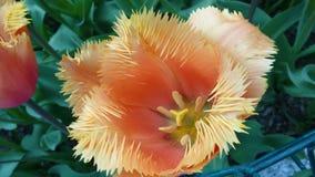 Tulipano con fronzoli - primo piano Immagine Stock Libera da Diritti