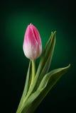 Tulipano con le gocce dell'acqua Fotografia Stock Libera da Diritti