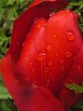 Tulipano con le gocce di pioggia Fotografie Stock Libere da Diritti