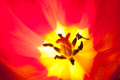 Tulipano d'ardore Immagini Stock