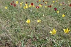 Tulipano dei tulipani di Schrenk gesneriana di Tulipa anche o del ` selvaggio s di Didier o Immagini Stock Libere da Diritti